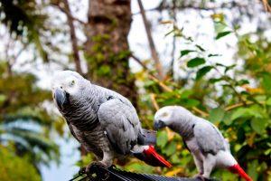 Perroquets gris de la RDC. Photo/InfoCongo