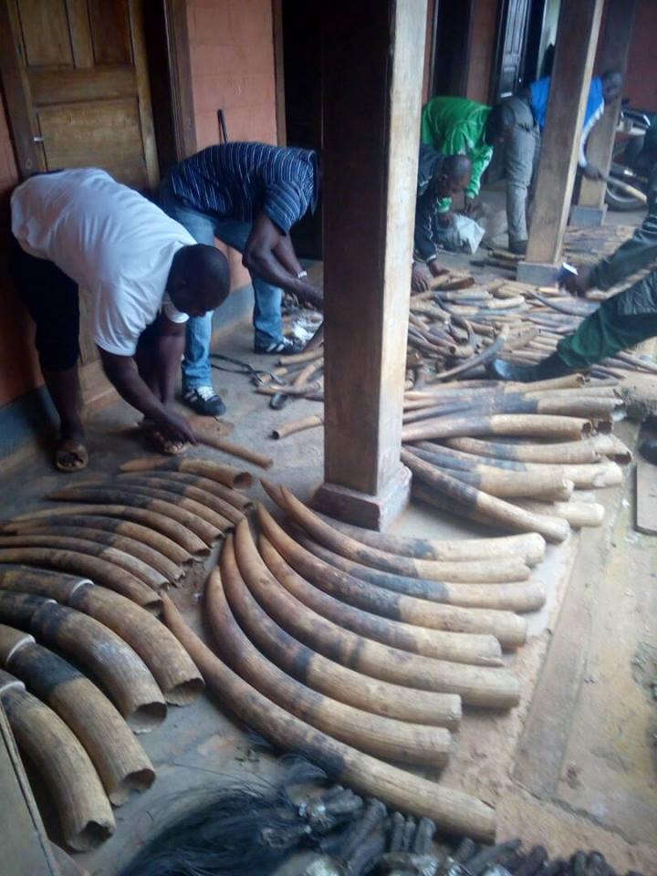 216 pointes d'ivoire saisies dans le Sud du Cameroun.