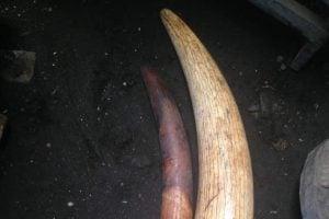 ivoire-saisie-a-goma-juristrale-12052018
