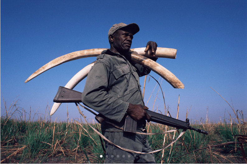 An ecoguard carries ivory confiscated from poachers in Garamba National Park, Democratic Republic of Congo. The park is one of the country's last strongholds for elephants, and protecting them is a dangerous job; in recent years more than 1,000 rangers worldwide have been killed in the line of duty. (© naturepl.com / Bruce Davidson / WWF)