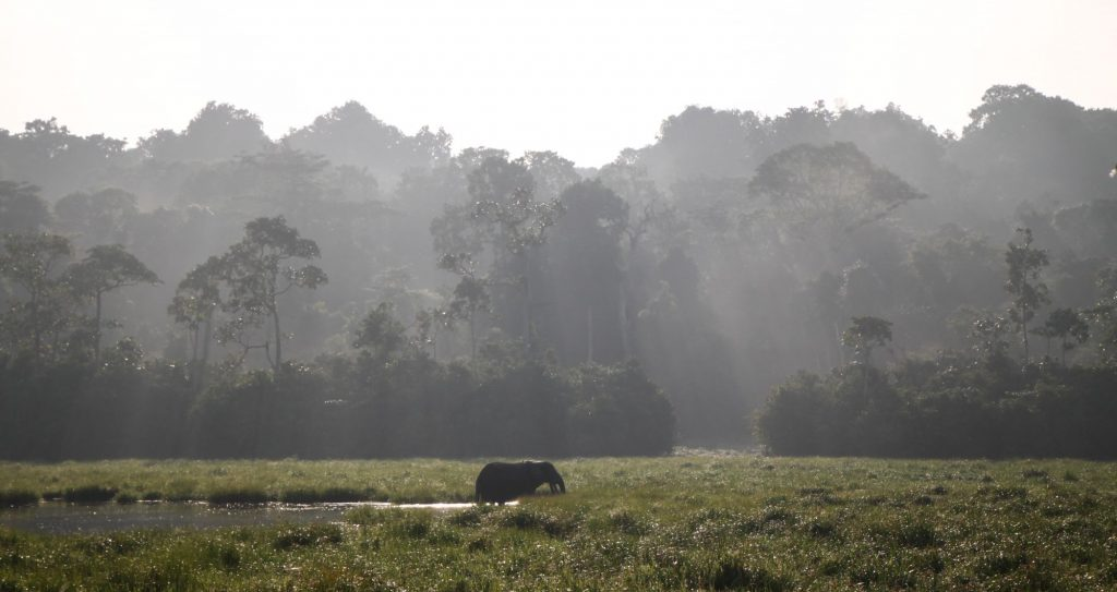 A forest elephant wades in Mbeli Bai, a mineral-rich clearing that attracts large groups of elephants in northern Republic of Congo. (Photo by Zanne Labuschagne/WCS)