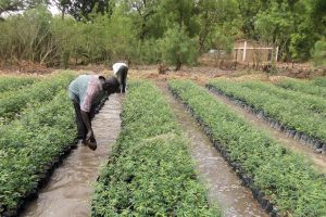 tree-nursery-at-anafor-yaounde-ready-for-planting