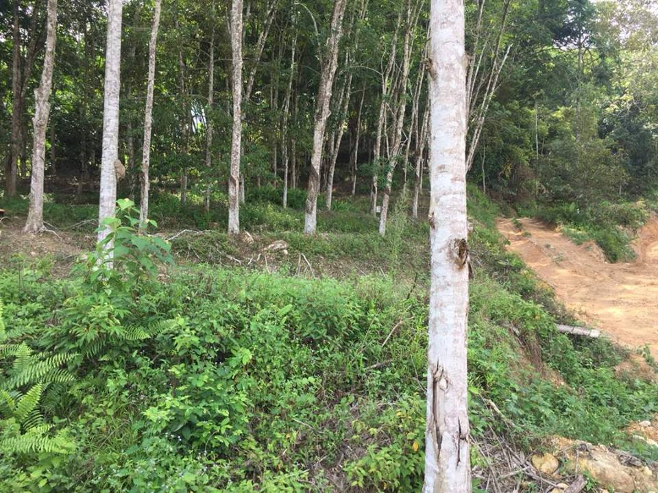 Most of the land used by smallholder farmers for cultivation has now been occupied by the rubber plantation