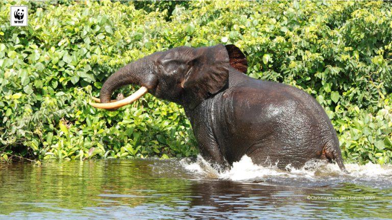 Un éléphant dans le Parc national de Loango (crédit photo WWF).