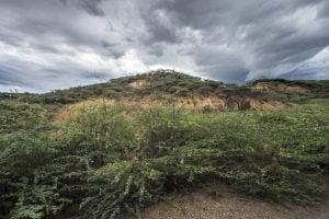 Prosopis et Lantana, deux arbustes ligneux qui ont envahi les terres de pâturage et agricoles du Kenya. Crédit image: Panos