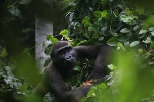 A gorilla from the habituation project in Campo Ma'an National Park. Image courtesy Campo Ma'an National Park via Wikicommons (CC BY-SA 4.0)